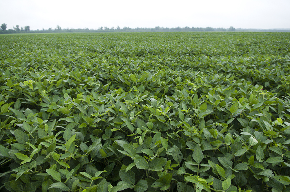 AgExpo 2009, VCE, soybeans in field