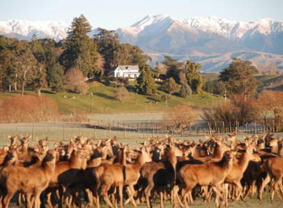 North Island deer farm in the Ruahine Mountains. Venison is a thriving industry in New Zealand. The deer are often raised on the same farms as sheep and beef cattle to utilize New Zealand's abundant forages. Our group visited several of these farms in different parts of the country. The primary market for venison is in Europe, but the farms we visited are looking to increase venison exports to the US and our hosts were very interested in getting the students' input on how to market their product to American millennials.