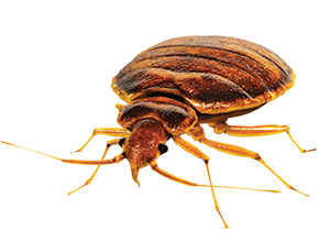 Entomologists battle bed bugs