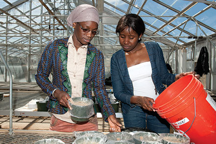Crop and soil environmental sciences graduate students Fatou Tine and Mariéme Drame conduct research in a greenhouse.