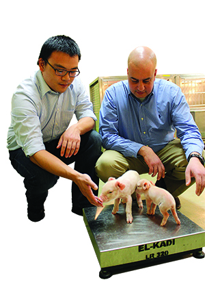 "Graduate student Ben Zhu (left) said the funds he received from the Pratt Endowment helped him concentrate on his research he does on birth weight in pigs with Assistant Professor Samer El-Kadi. ""It's great to have a student here for two years who can concentrate on the work and complete a research project,"" El-Kadi said. ""The Pratt funds have made all the difference in how I can run my lab and teach the next generation of animal nutrition scientists."""
