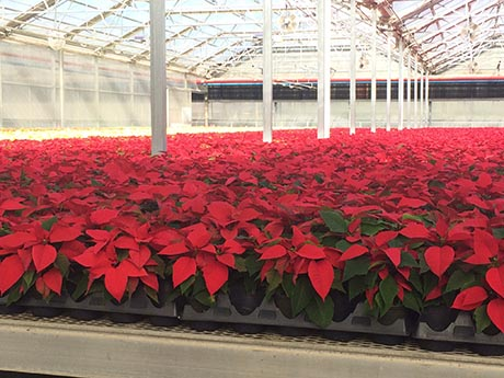 Poinsettias in Florida